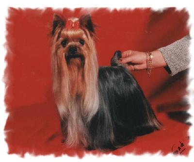 elevage des grappes noires eleveur de chiens yorkshire terrier. Black Bedroom Furniture Sets. Home Design Ideas